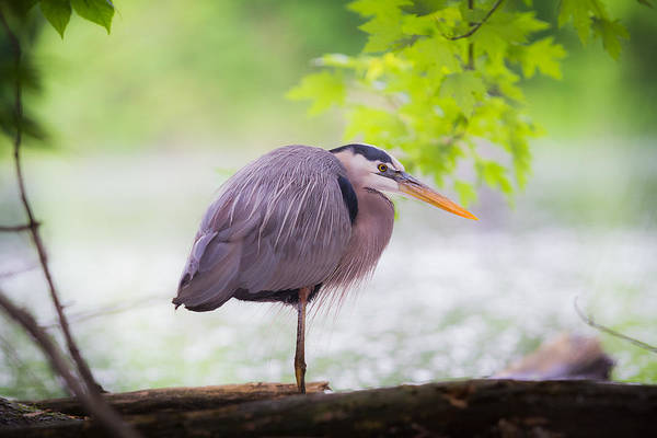 Photograph - Great Blue Heron On Log by Chris Hurst