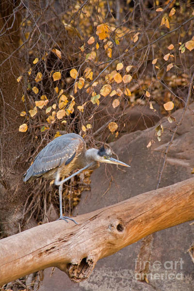 Photograph - Great Blue Heron On The Virgin River by Fred Stearns