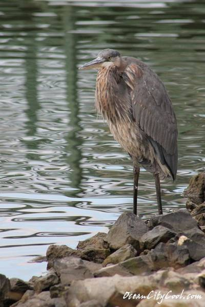 Photograph - Great Blue Heron On Watch by Robert Banach