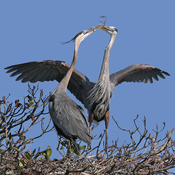 Photograph - Great Blue Heron Pair by Larry Linton