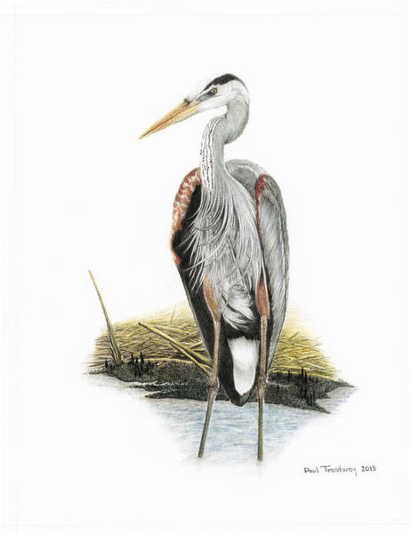 Great Blue Heron Drawing - Great Blue Heron by Paul Treadway