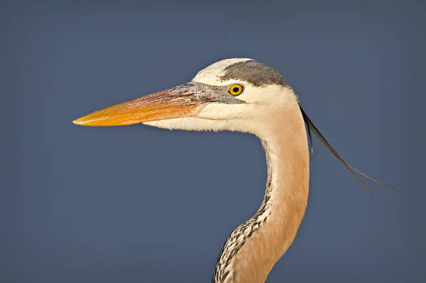Photograph - Great Blue Heron Portrait by Susan Candelario