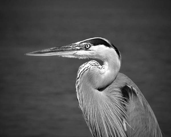 Photograph - Great Blue Heron Profile B W by Jemmy Archer