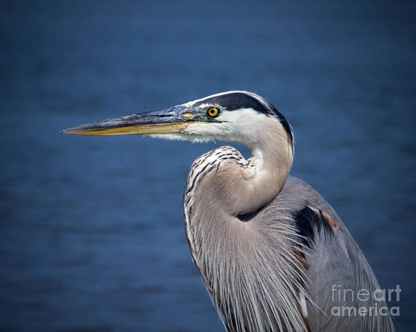 Photograph - Great Blue Heron Profile by Jemmy Archer