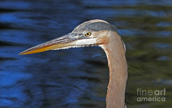 Photograph - Great Blue Heron Profile by Kevin McCarthy