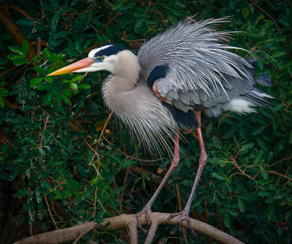 Photograph - Great Blue Heron Ruffling Feathers by Susan Candelario