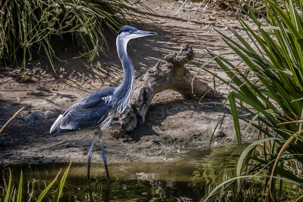 Digital Art - Great Blue Heron by Photographic Art by Russel Ray Photos