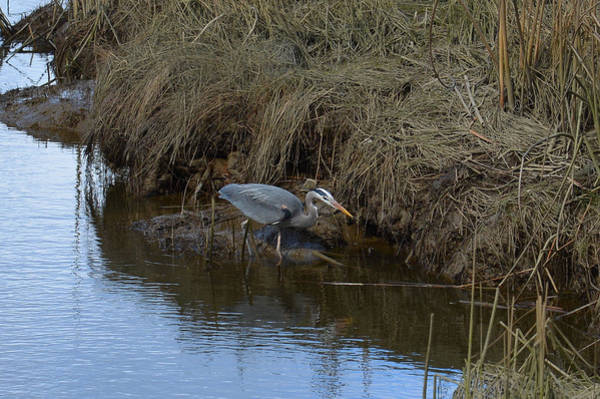Photograph - Great Blue Heron Searching by Lawrence Christopher