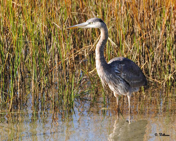 Photograph - Great Blue Heron Stands Alone by Dan Williams