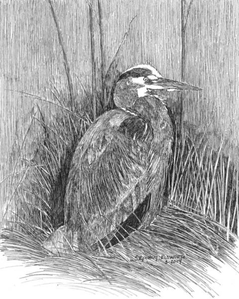 Great Blue Heron Drawing - Great Blue Heron by Stephany Elsworth