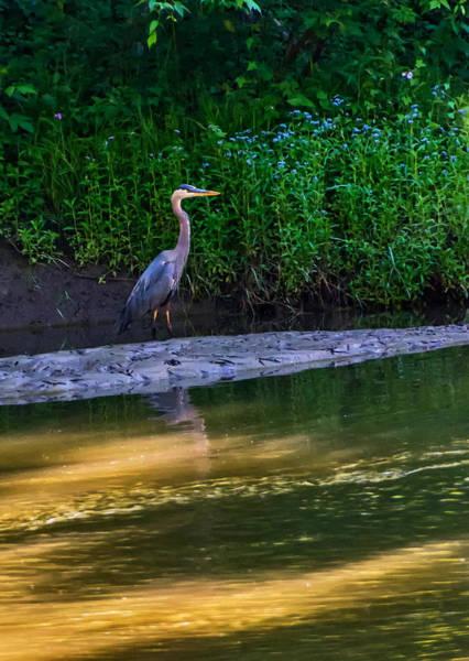 Bolton Photograph - Great Blue Heron by Steve Harrington