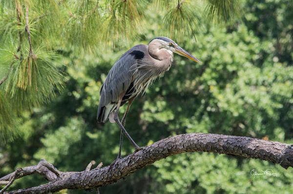 Photograph - Great Blue Heron V by Susan Molnar