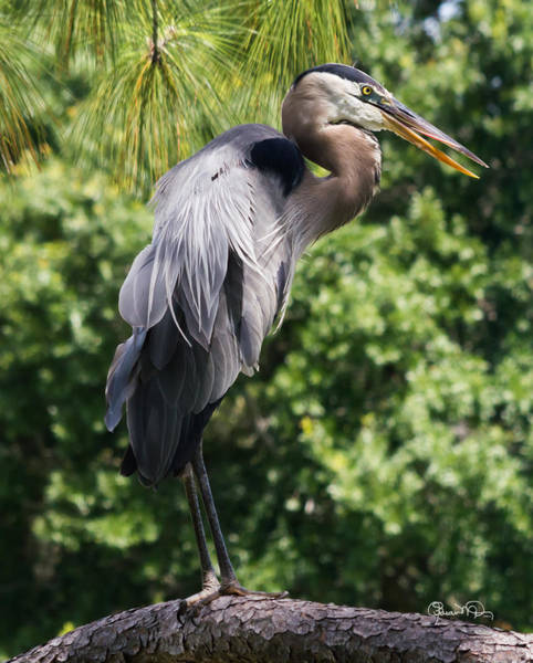 Photograph - Great Blue Heron Vii by Susan Molnar