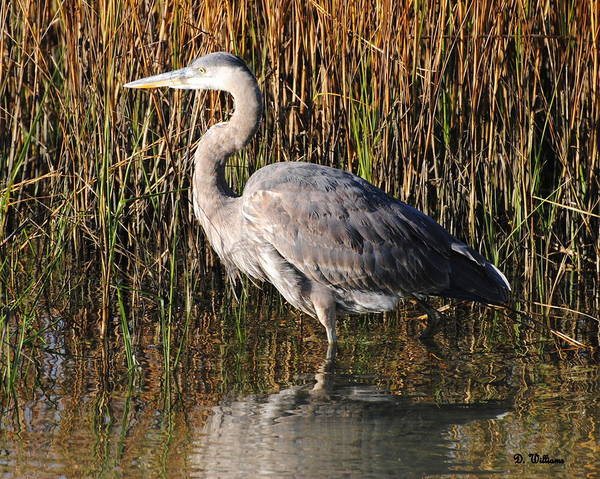 Photograph - Great Blue Heron Wades Quietly by Dan Williams