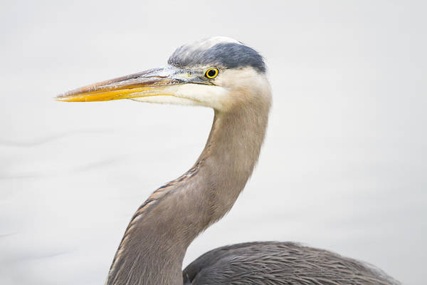 Photograph - Great Blue Heron by Windy Corduroy