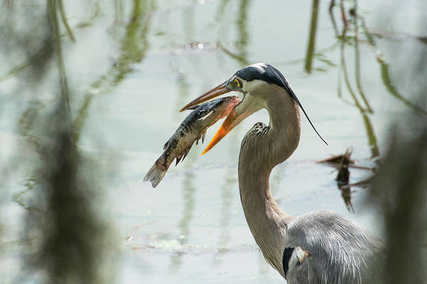 Ardea Photograph - Great Blue Heron With Fish In Mouth by Sheila Haddad
