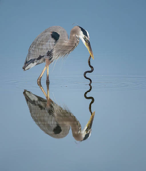 Snake Photograph - Great Blue Heron With Snake by Michael J. Cohen, Photographer