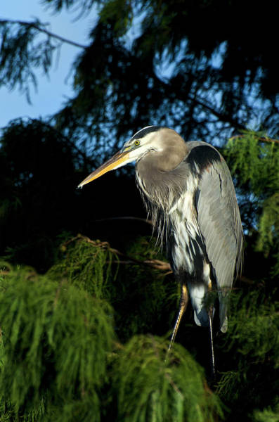 The Great Outdoors Photograph - Great Blue Heron,in Tree by Mark Newman