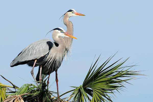 Photograph - Great Blue Herons At Nest by Bradford Martin