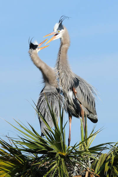 Photograph - Great Blue Herons At Nest Open Bills by Bradford Martin