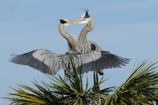 Photograph - Great Blue Herons Courting by Bradford Martin