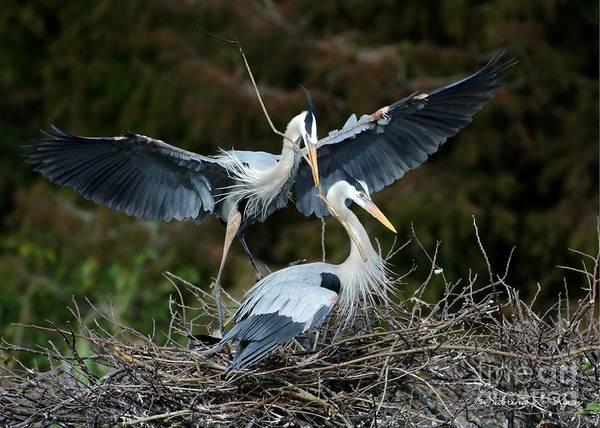 Great Blue Herons Nesting Art Print