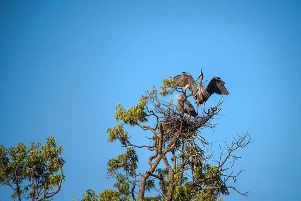 Photograph - Great Blue Herons-the Handoff by  Onyonet  Photo Studios