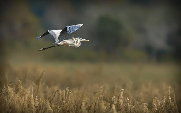 Photograph - Great Blue In Flight by Patrick M Lynch
