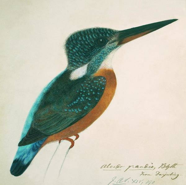 Alcedo Photograph - Great Blue Kingfisher by Natural History Museum, London/science Photo Library