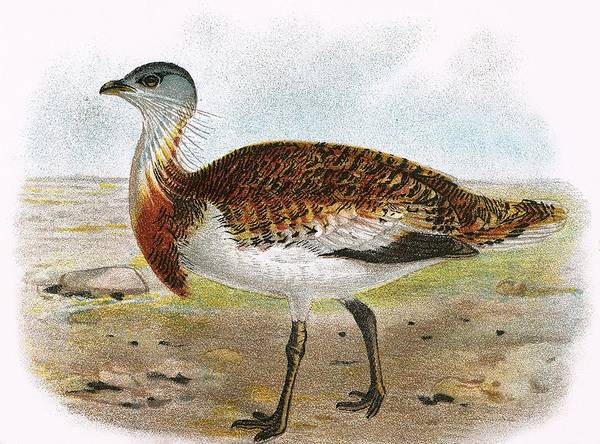 Ornithology Photograph - Great Bustard by English School