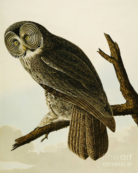 Audubon Painting - Great Cinereous Owl by John James Audubon