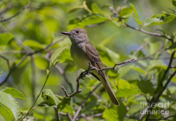 Great Crested Flycatcher Art Print