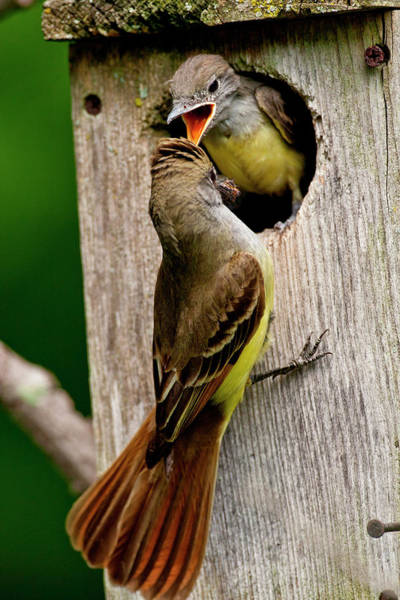 Wall Art - Photograph - Great Crested Flycatcher Myiarchus by David Northcott