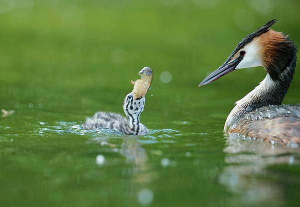 Wall Art - Photograph - Great Crested Grebe Chick With A Crayfish by Dr P. Marazzi/science Photo Library
