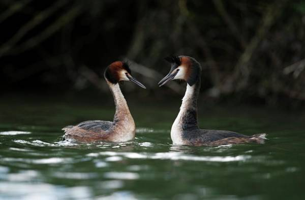 Mating Ritual Photograph - Great Crested Grebe Greeting Display by Dr P. Marazzi/science Photo Library