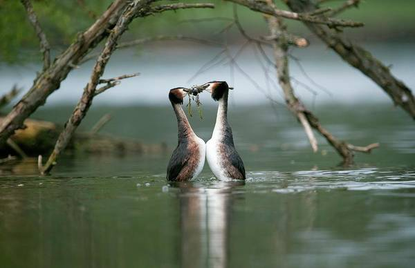 Mating Ritual Photograph - Great Crested Grebe Mating Display by Dr P. Marazzi/science Photo Library