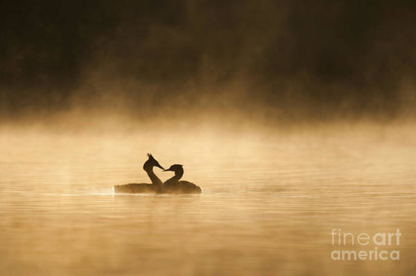 Photograph - Great Crested Grebes by Des Ong FLPA