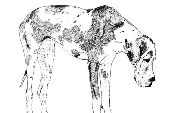 Wall Art - Drawing - Great Dane by Karl Addison