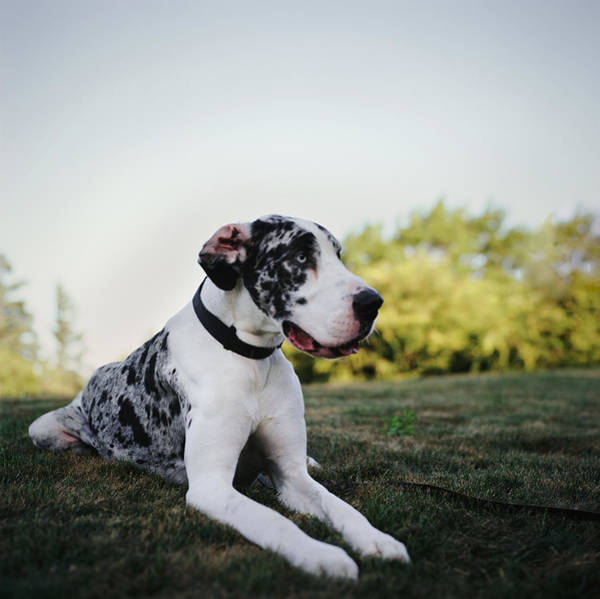 Great Dane Photograph - Great Dane Lying In Park by Danielle D. Hughson