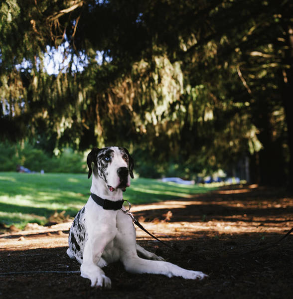 Great Dane Photograph - Great Dane Lying Under Evergreen Trees by Danielle D. Hughson