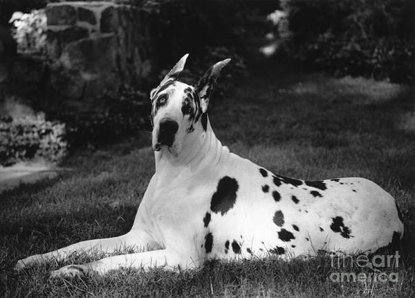 Photograph - Great Dane by Margaret Miller