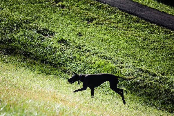 Photograph - Great Dane Running by Karen Saunders