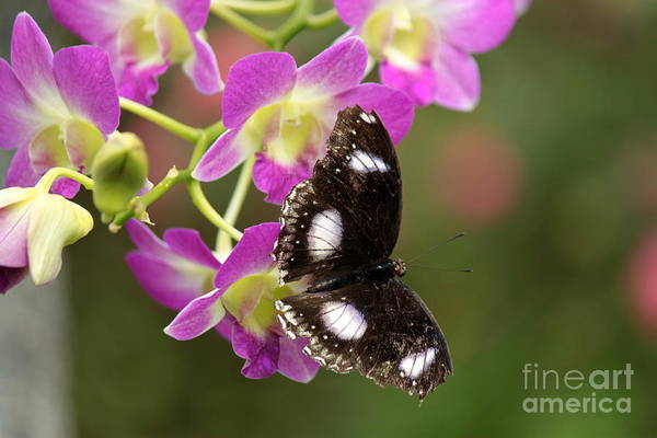 Wall Art - Photograph - Great Eggfly Butterfly On Orchid by Eric Irion