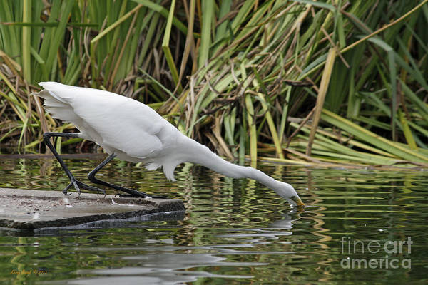 Horicon Marsh Photograph - Great Egret - It's A Stretch by Kenny Bosak