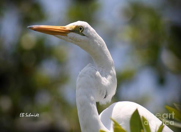 Photograph - Great Egret 01 by E B Schmidt