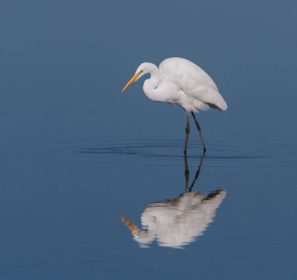 Wall Art - Photograph - Great Egret by Angie Vogel