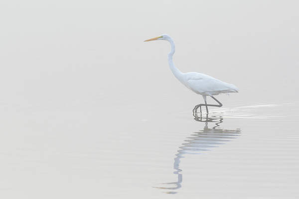 Wall Art - Photograph - Great Egret Ardea Alba In Wetland by Animal Images