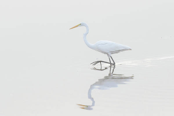Wall Art - Photograph - Great Egret, Ardea Alba, In Wetland by Richard and Susan Day