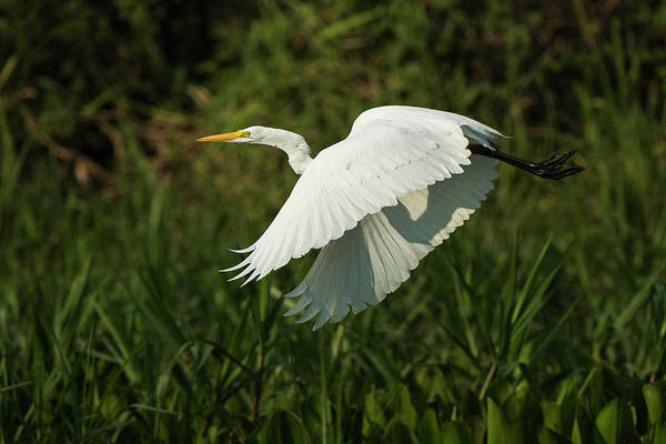 Ardea Photograph - Great Egret (ardea Alba by Pete Oxford