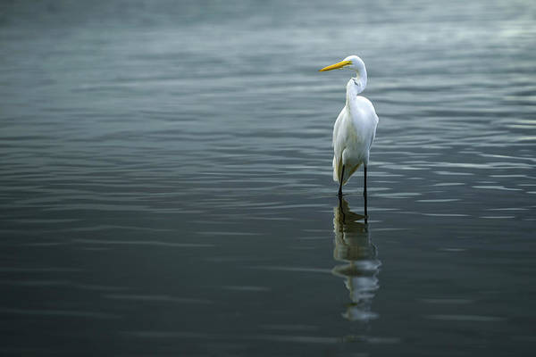 Wall Art - Photograph - Great Egret (ardea Alba) Standing In Water by Ktsdesign/science Photo Library